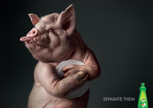 Pig-Sunlight-640