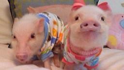 piggy11
