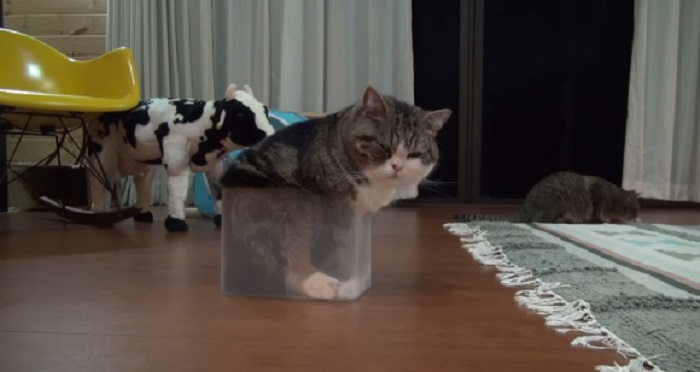 แมวกล่อง Maru กลับมาอีกครั้งกับความพยายามเข้าไปอยู่ในกล่องแสนน่ารัก