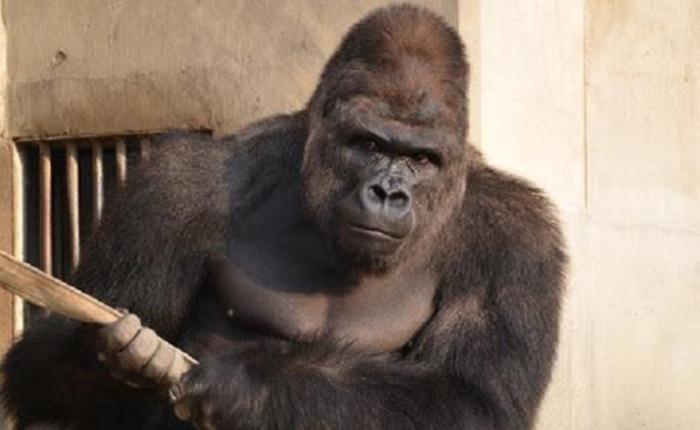 gorillaHILI