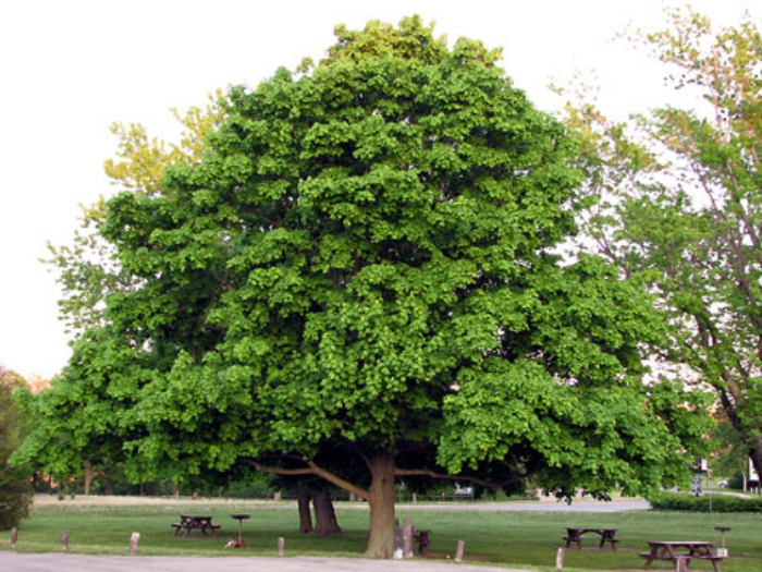 Niagara-Falls-Maple-tree-4135