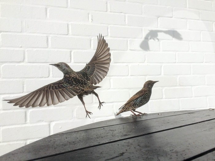 second-place-goes-to-david-craik-who-says-it-took-great-patience-to-capture-these-starlings-just-as-ones-shadow-hit-the-white-wall-behind-it-some-may-think-im-mad-but-one-of-the-mo
