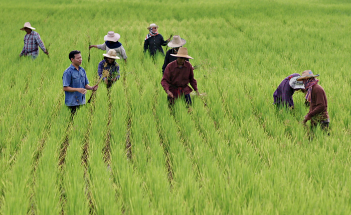 รู้จักการทำนาหยอด โครงการดีๆ จาก ข้าวหงษ์ทอง ที่จะเติบโตไปพร้อมกับชาวนาไทย