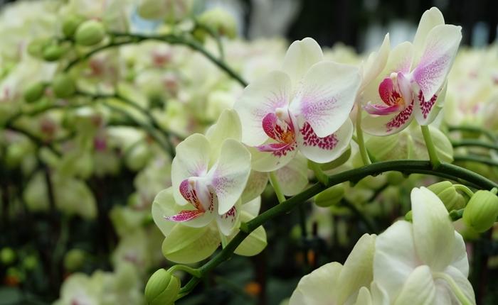 Phalaenopsis Orchid (1)