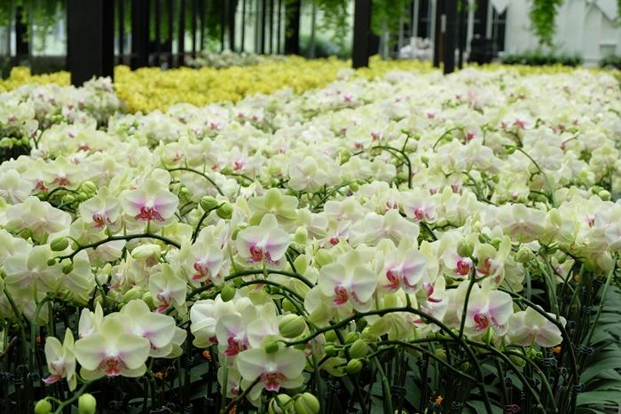 Phalaenopsis Orchid (5)