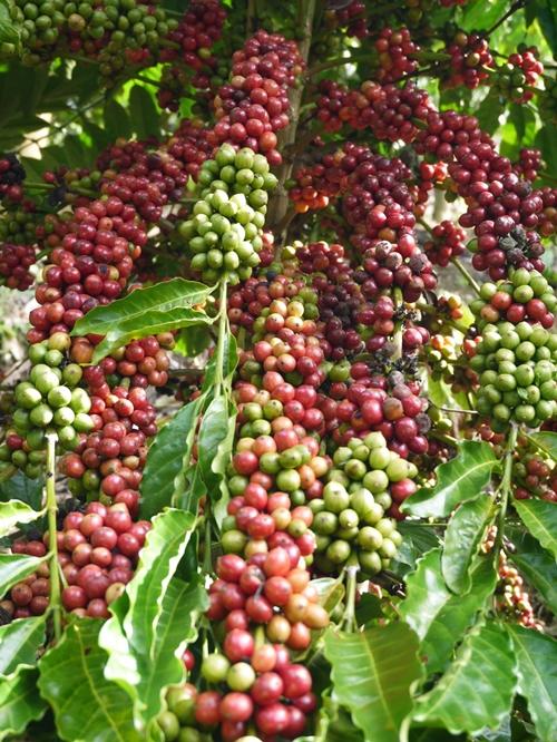 ต้นกาแฟ 4