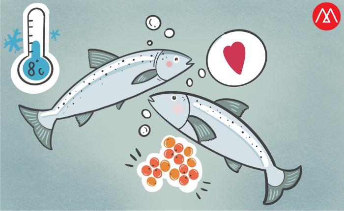 ปลาแซลมอน ระยะไข่ปลา (Roe)