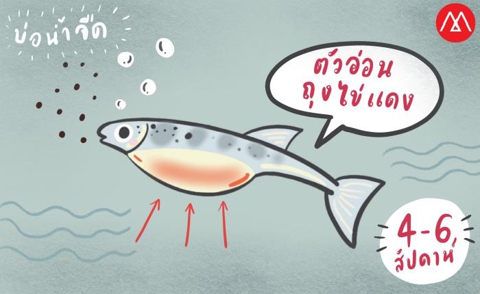 ปลาแซลมอน ระยะ ตัวอ่อน (Fry)