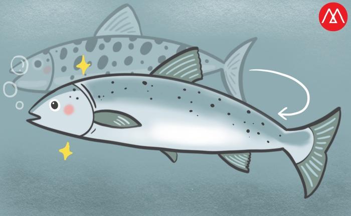 กระบวนการปรับสภาพลูกปลาแซลมอนจากน้ำจืดไปยังน้ำเค็ม